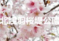 埼玉で桜を観るなら桜並木が美しい坂戸市の『北浅羽桜堤公園』がおススメ!